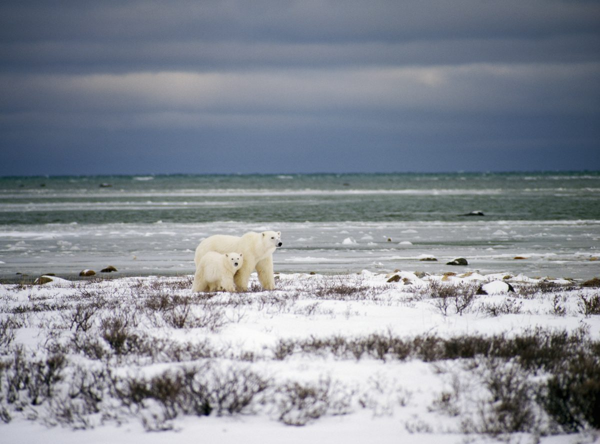 Polar bear spotting in Canada