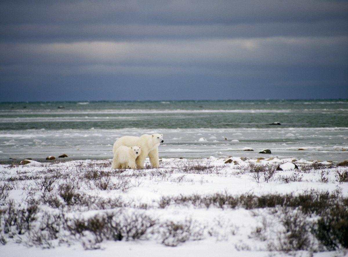 Polar bear spotting in Canada