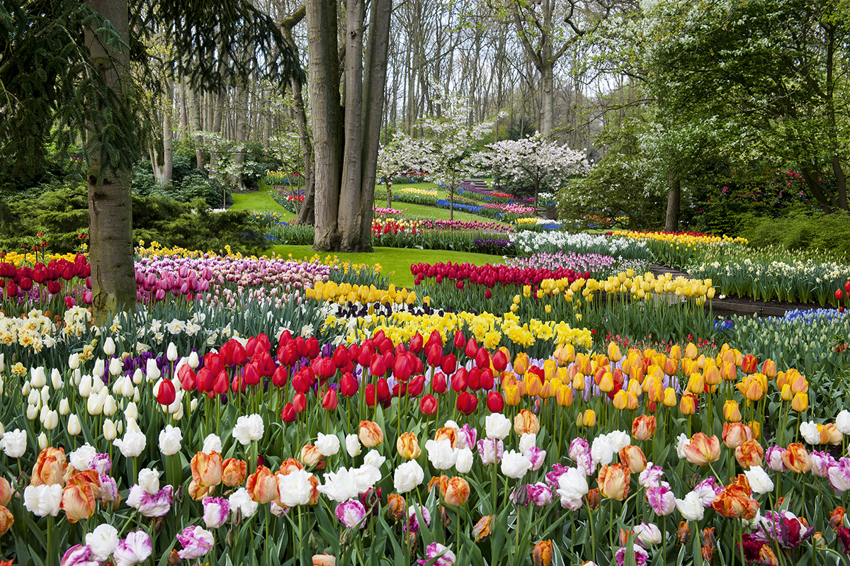 sea of colourful tulips